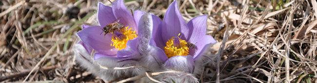 Velikonočnica cveti