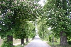 Kostanjev drevored